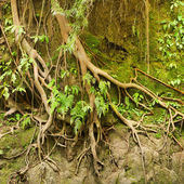 Roots of a tropical tree in the soil eroded by rain — Stock Photo