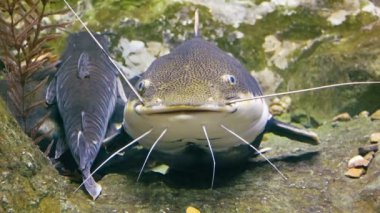 Video 1080p - Tropical big Red tail catfishes in their natural habitat — Stock Video