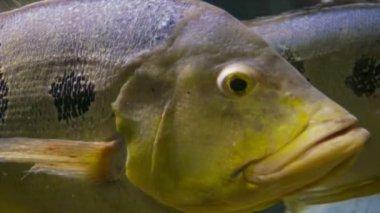 Video 1080p - Huge fish under water closeup — Stock Video
