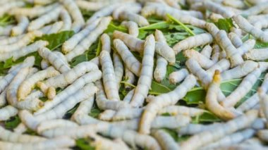 Video 1920x1080 - Live silkworm caterpillars on a pile of leaves — Stockvideo
