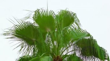 Video 1080p - Palm fronds sway the wind against the sky — Stock Video