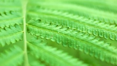 Video 1080p - Fern frond close up. Macro — Stok video