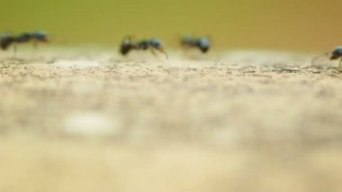 Video 1080p - Fast marching ants — Stockvideo