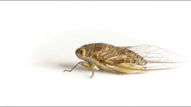 Video 1920x1080 - Live adult cicada on a white background — Stock Video