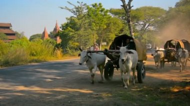 BAGAN, MYANMAR - CIRCA JAN 2014: Carts drawn by cows move parallel to the highway — Stock Video