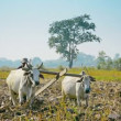 NAYPYIDAW UNION TERRITORY, BURMA - CIRCA JAN 2013: Traditionally in Burma to work on the fields used cows — Stock Video #51492697