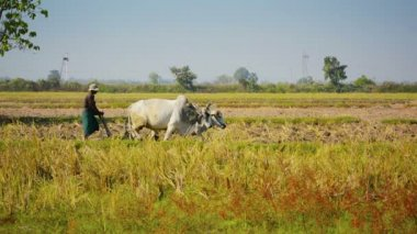 NAYPYIDAW UNION TERRITORY, BURMA - CIRCA JAN 2013: Farmer plowing a field with two cows — Stock Video