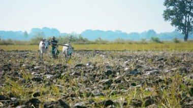 NAYPYIDAW UNION TERRITORY, BURMA - CIRCA JAN 2013: Plowing field using cows - heavy peasant labor — Stock Video