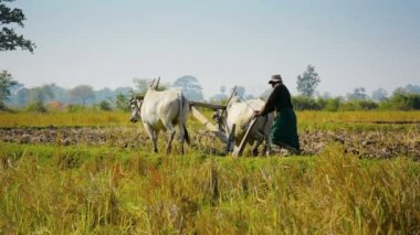 NAYPYIDAW UNION TERRITORY, BURMA - CIRCA JAN 2013: Two cows and a wooden plow - farmers  tools when plowing fields — Stock Video