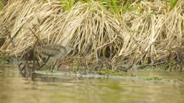 Video 1080p - The pectoral sandpiper (Calidris melanotos) fed by the river. Russia northwest — Stock video