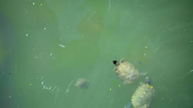 Video FullHD - Turtles live in dirty water in the city. Singapore — Stockvideo