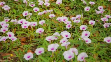 Video 1920x1080 - Convolvulus arvensis, Field Bindweed flowers on the lawn — Video Stock
