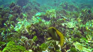 Video 1080p - Titan triggerfish (giant triggerfish or moustache triggerfish) in their natural habitat — Stock Video