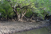 Mangrove forest — Stockfoto