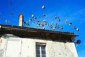 Pigeons in Ljubljana — Stock Photo