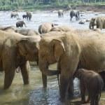 Elephants bathing — Stock Photo #5652902