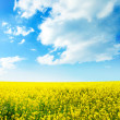 Stock Photo: Yellow field rapeseed in bloom