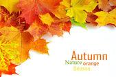 Autumn klonowe liście — Zdjęcie stockowe