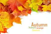 Autunno maple leafs — Foto Stock