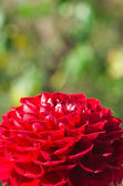 Red dahlia — Stock Photo