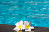 Flower Plumeria on swimming pool — Stock Photo