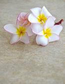 Flowers frangipani — Stock Photo