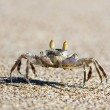Crab on  sand - Stock Photo