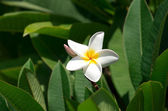 White plumeria flowers — Stock Photo