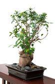 Banyan tree — Stock Photo