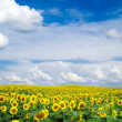 Blooming field of sunflowers on blue sky — Stock Photo