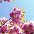 Cherry flowers - Foto Stock