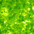 Green leaves — Stock Photo #19092779