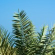 Green palm - Stockfoto