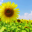 Sunflower field - Foto Stock