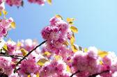 Cherry flowers — Stock Photo