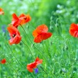 Royalty-Free Stock Photo: Red poppy on field