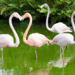 Flamingos in the water - Stock Photo