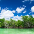 Royalty-Free Stock Photo: Mangrove trees