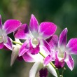 Orchid — Stock Photo #22731977