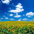 Sunflower field — Stock Photo #30832703