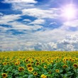 Sunflower field — Stock Photo #30832737