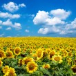 Sunflower field — Stock Photo #30832831