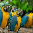 Stock Photo: Macaw bird
