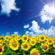 Sunflower field — Stock Photo #31095205
