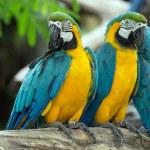 Parrots — Stock Photo #31096353