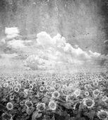Sunflower field — Stock fotografie