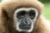 Gibbon — 图库照片