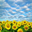 Sunflower field — Stock Photo #33661299
