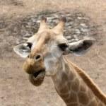 Giraffes — Stock Photo #33661361