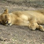 Lioness — Stock Photo #33661487
